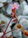 Geranium purpureum ou Geranium robertianum subsp. purpureum