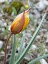 TULIPE AUSTRALE ou TULIPE de CELSE, autres appellations : Tulipe du Midi, Tulipe méridionale (Tulipa Sylvestris subsp. autralis - Syn. Tulipa Celsania)