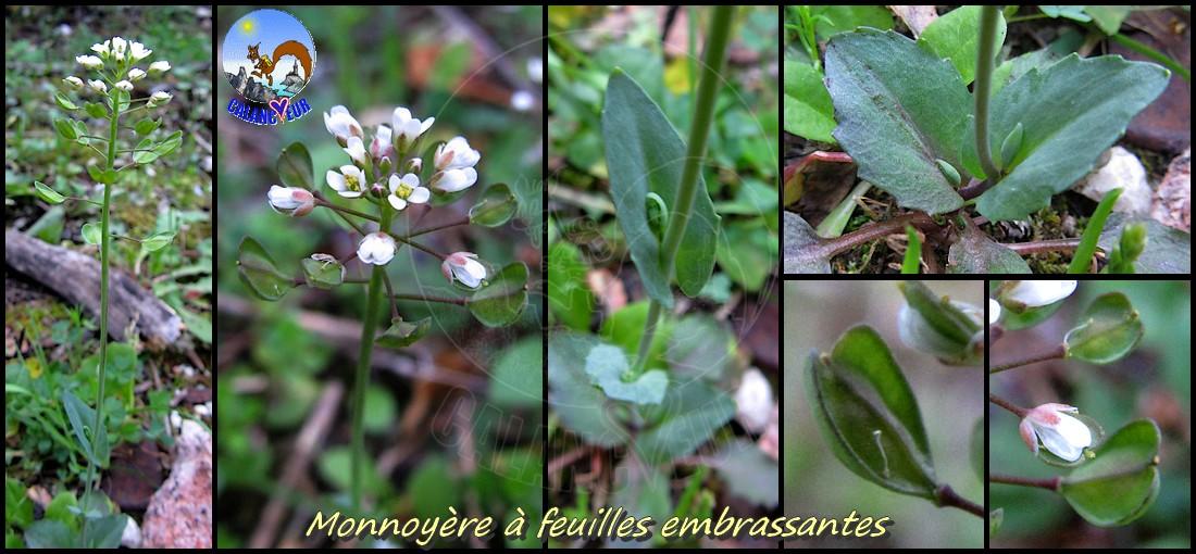 Herbier virtuel des calancoeurs fleurs commen ant par m et n - Fleur commencant par t ...