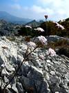 (Ibéris linifolia ou Ibéris Stricta leptophylla)
