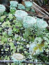 CLADONIA FIMBRIATA (Lichens)