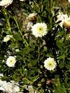 """(Globularia Alypum """"Alba"""")"""