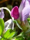VESCE COMMUNE (Vicia Sativa)