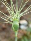 Aegilops geniculata ou Aegilops ovata