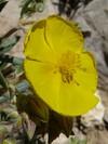 Helianthemum Syriacum